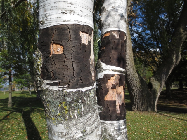 birch trees surviving the innocence of curious explorers. ottawa. ontario. 2013
